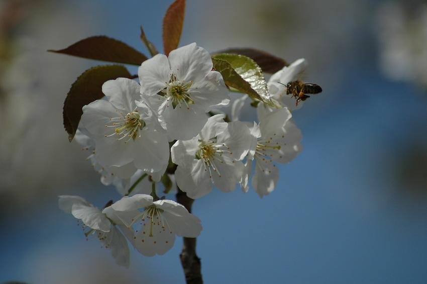 Abélia à grandes fleurs