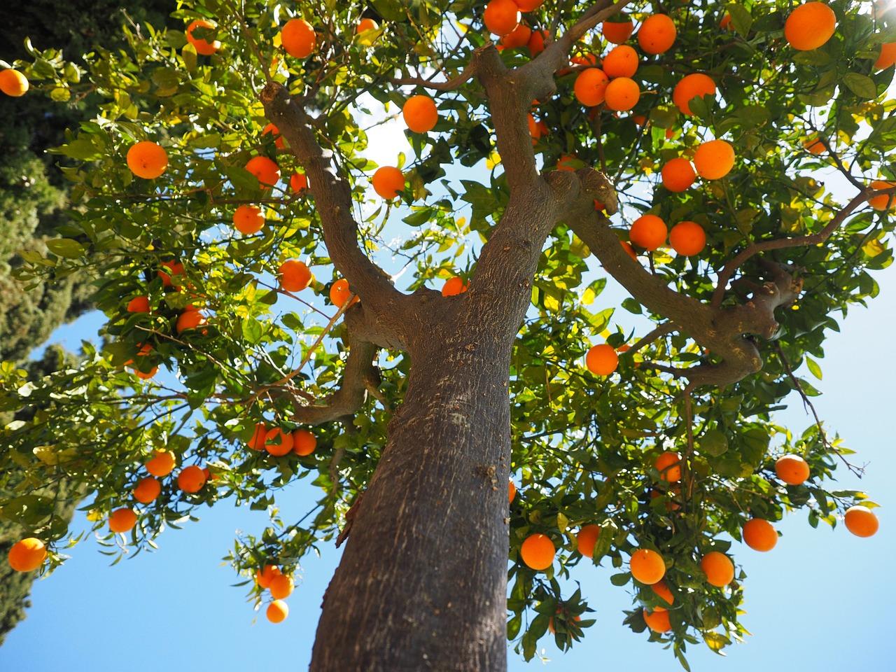 arbre fuitier