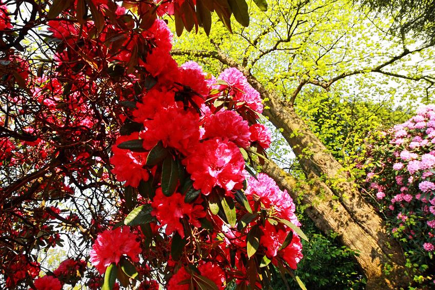 Arbustes de rhododendrons