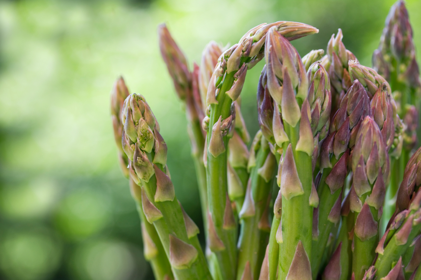 Asperge asparagus officinalis for Asperge plante interieur