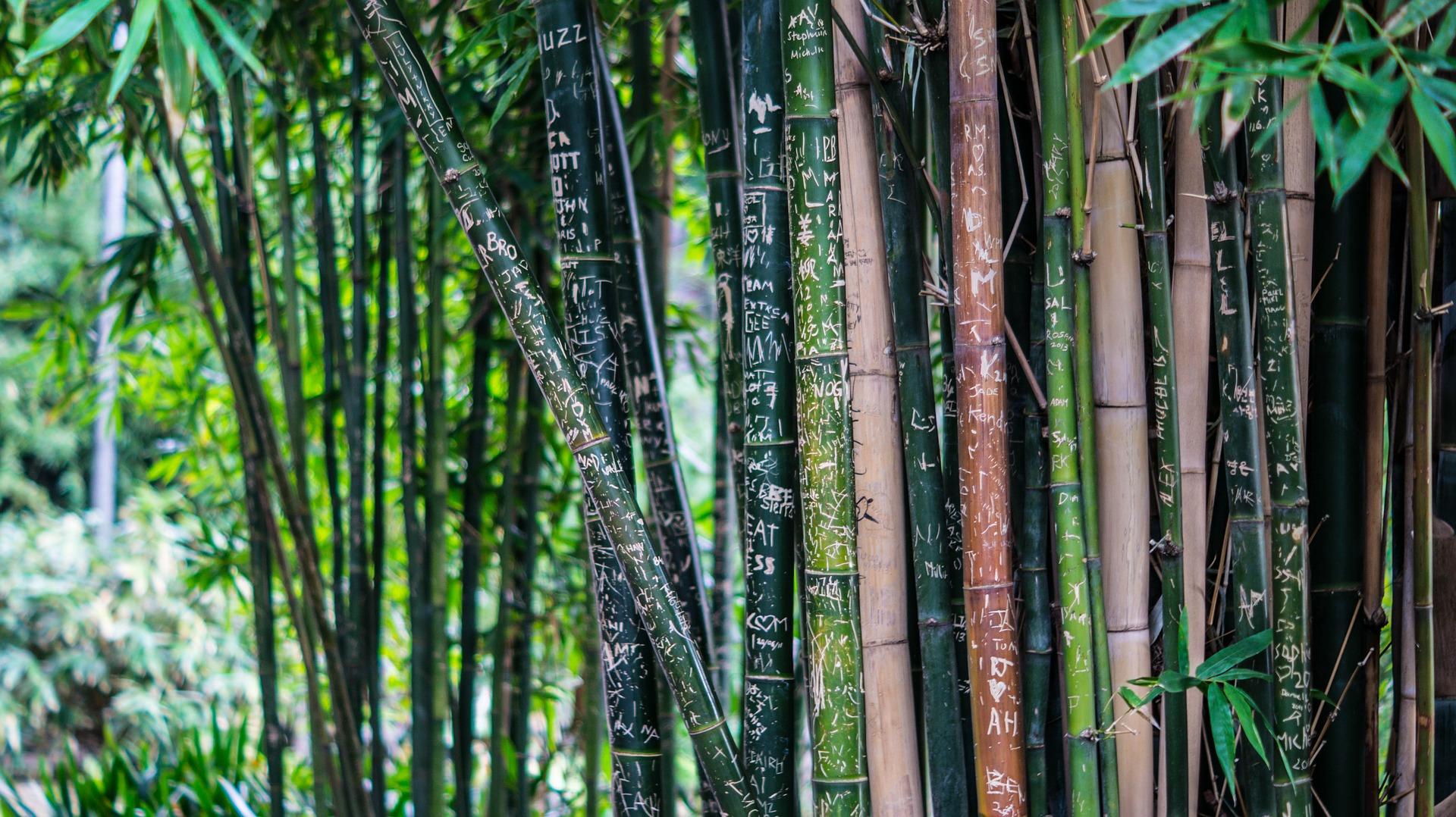 bambou forêt
