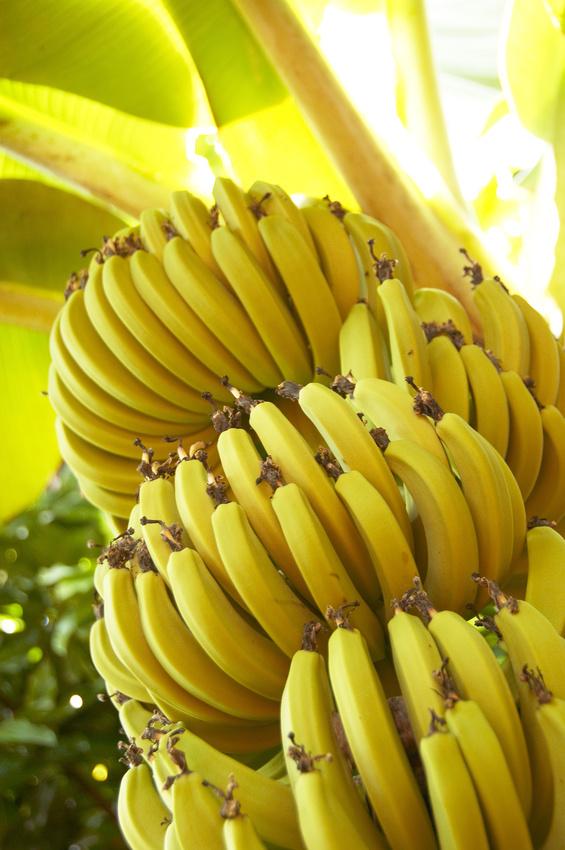 Bananier du Japon