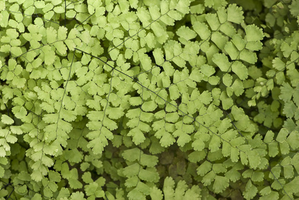 Black Maidenhair fern