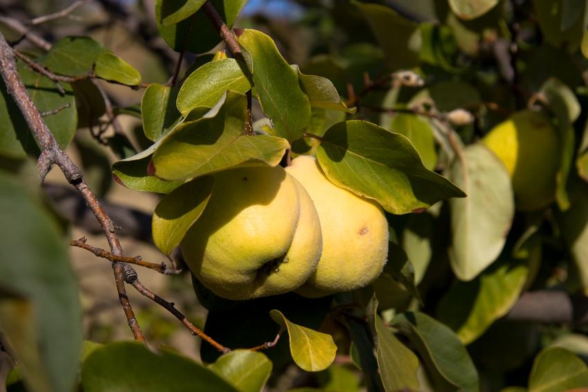 Branche de cognassier en fructification