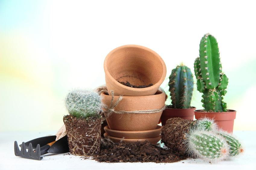 Cactus hors pot sur le point d'être rempotés