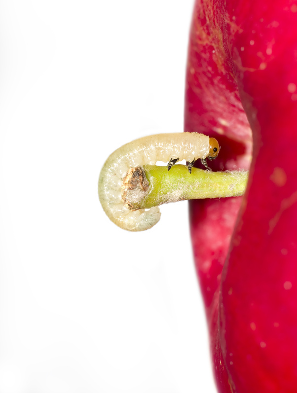 Carpocapse des pommes