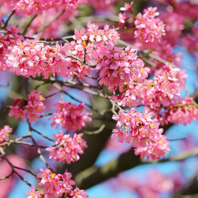 Cerisier fleuri