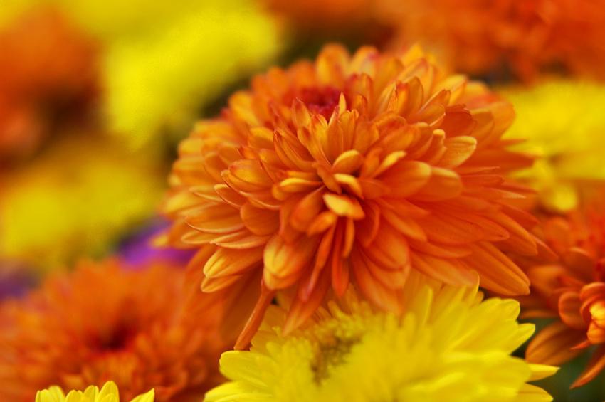 Chrysanthèmes d'octobre