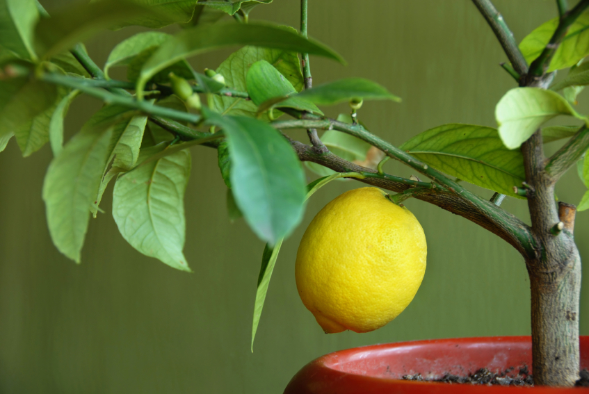 Citronnier avec citron en pot