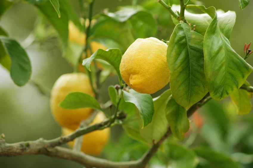 Taille d 39 un citronnier - Entretien d un citronnier ...