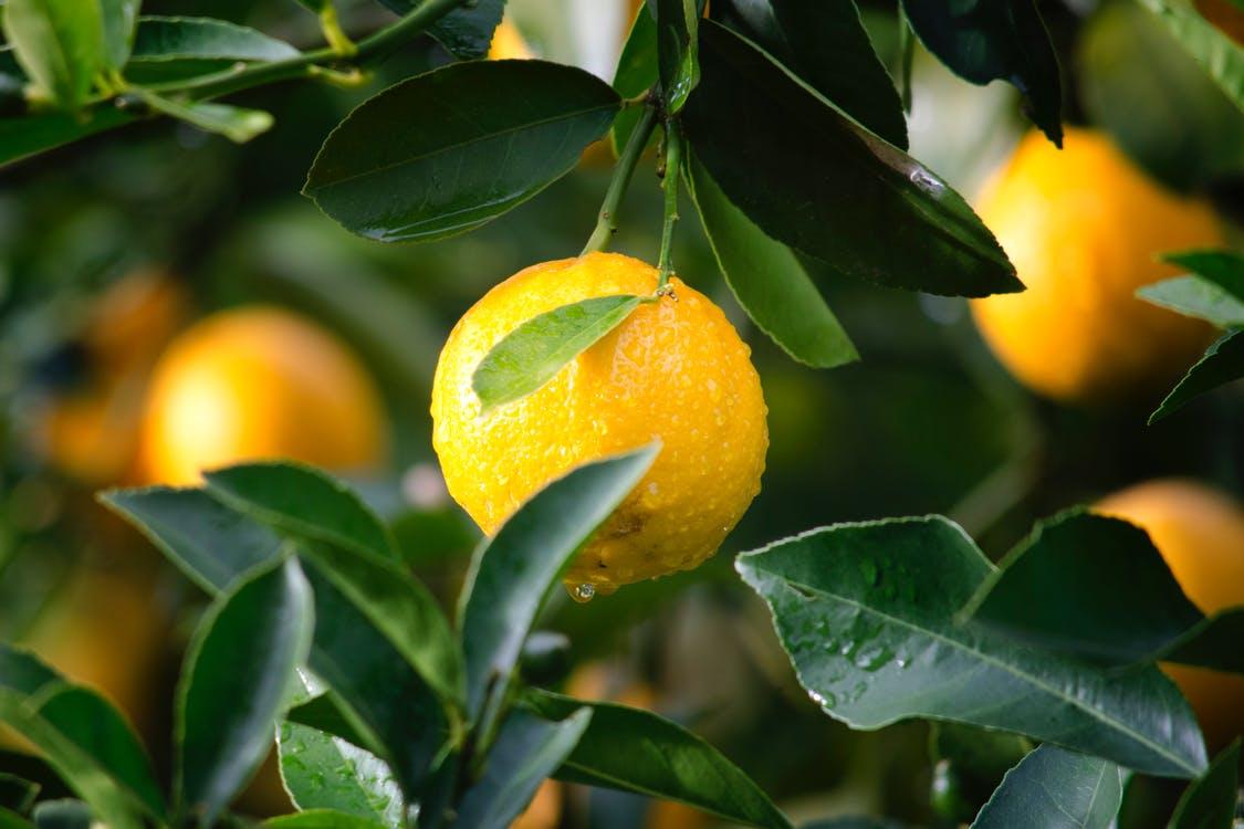 citronnier10