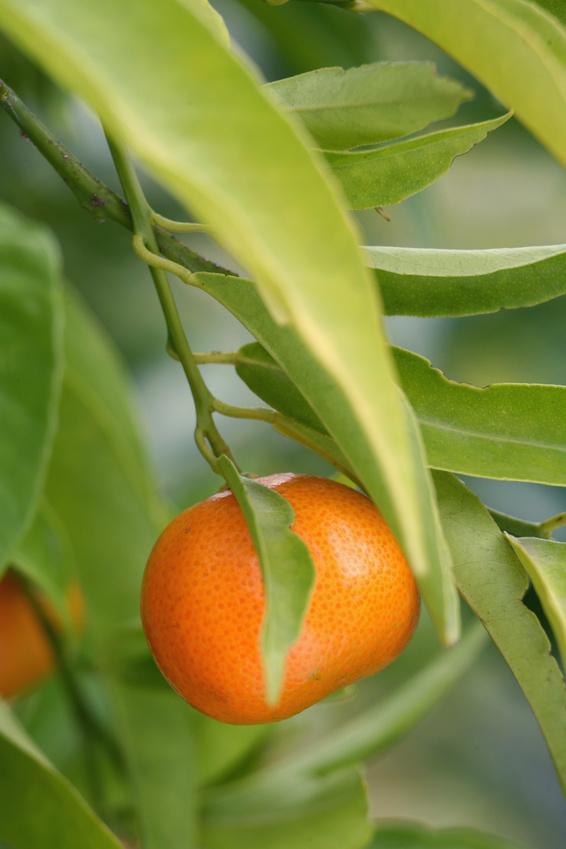 Clémentinier en fructification