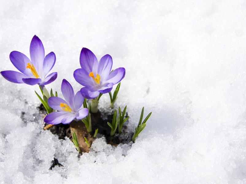 crocus sous un manteau de neige