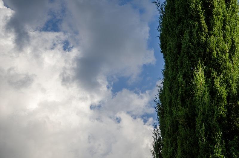 Cyprès de florence