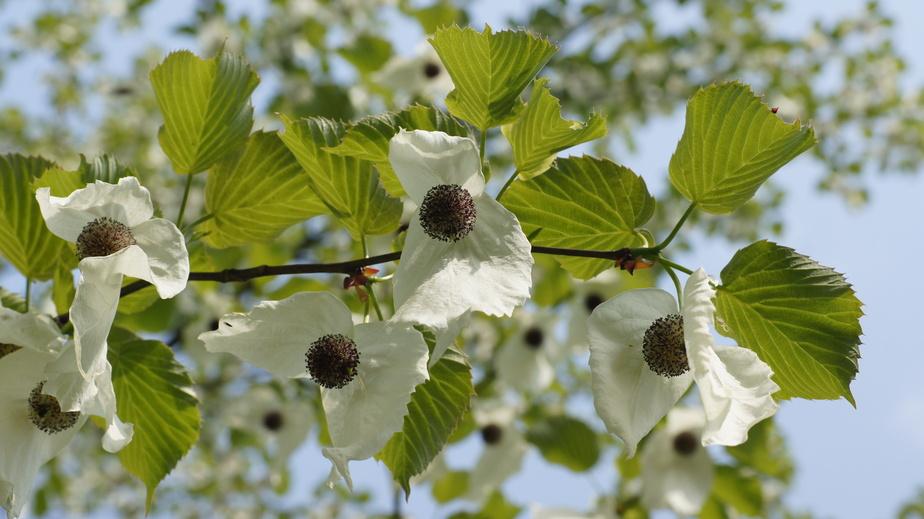 Davidia involucrata en fleurs