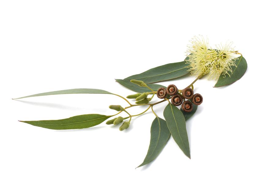 eucalyptus sur fond blanc