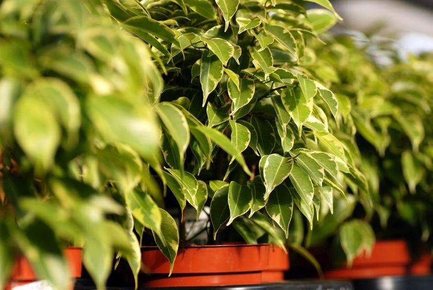 Ficus benjamina