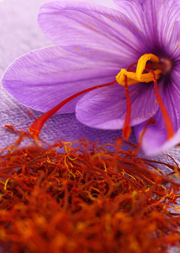 Fleur de crocus et récolte de safran