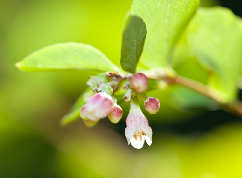 Fleur de la symphorine