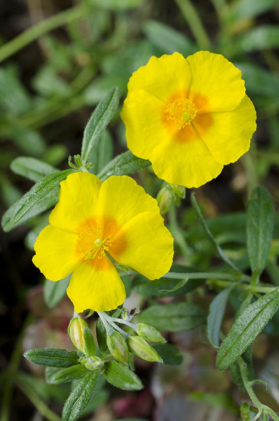 Fleur de potentille