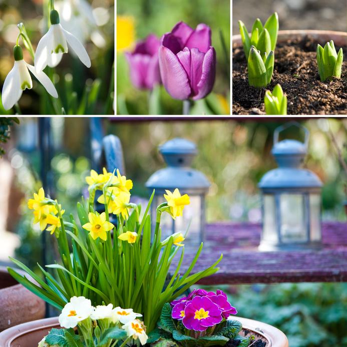Fleurs de printemps: jonquilles, tulipes et prmevères