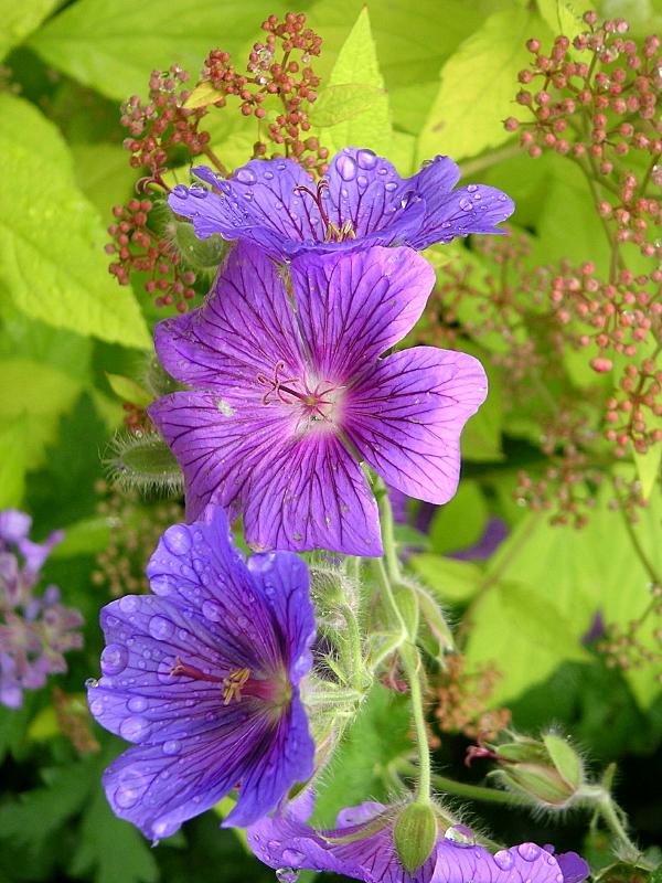 geranium-vivace-sanguin-herbe-becquet