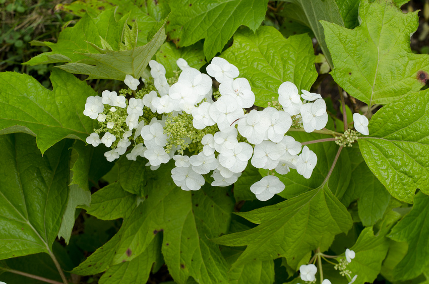 hortensia à feuilles de chêne blanc