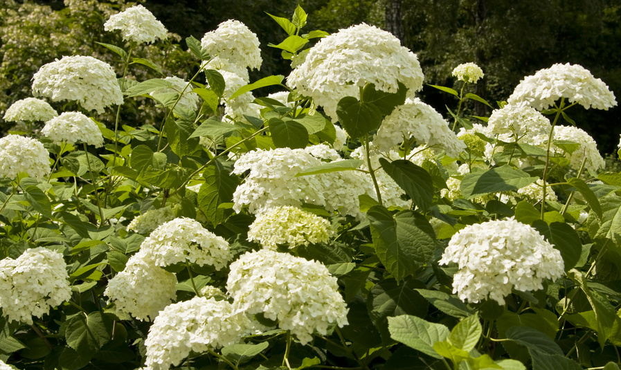 hortensia panicul hydrangea paniculata. Black Bedroom Furniture Sets. Home Design Ideas