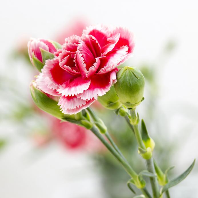 Œillet des fleuristes, Œillet commun