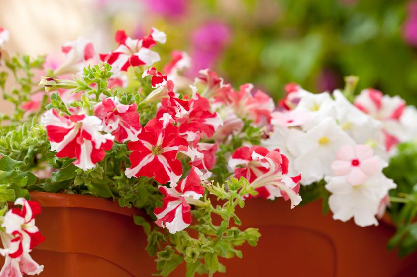 Jardinière avec pétunias roses