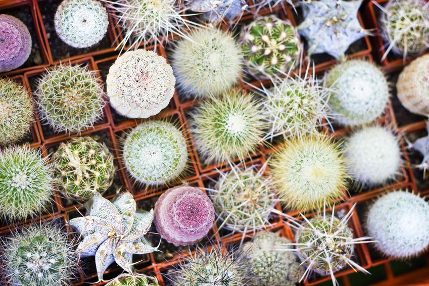 Jeunes cactus en pot