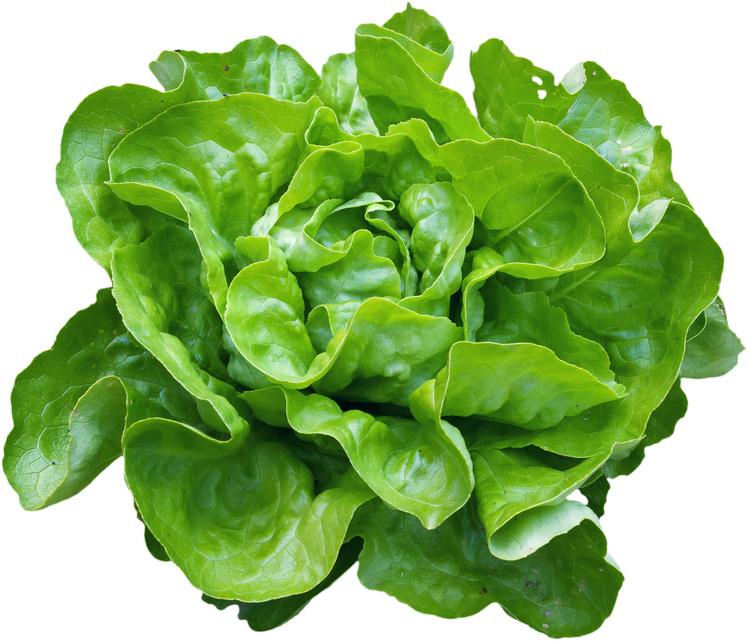 Semis de laitue for Entretien salade jardin