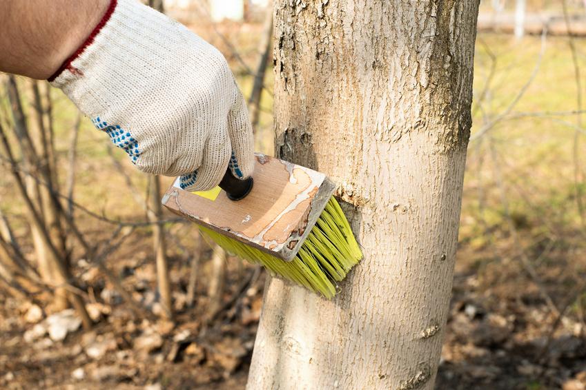 Lait de chaux appliqué sur un arbre