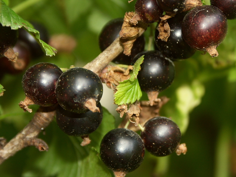 Le cassissier et ses fruits