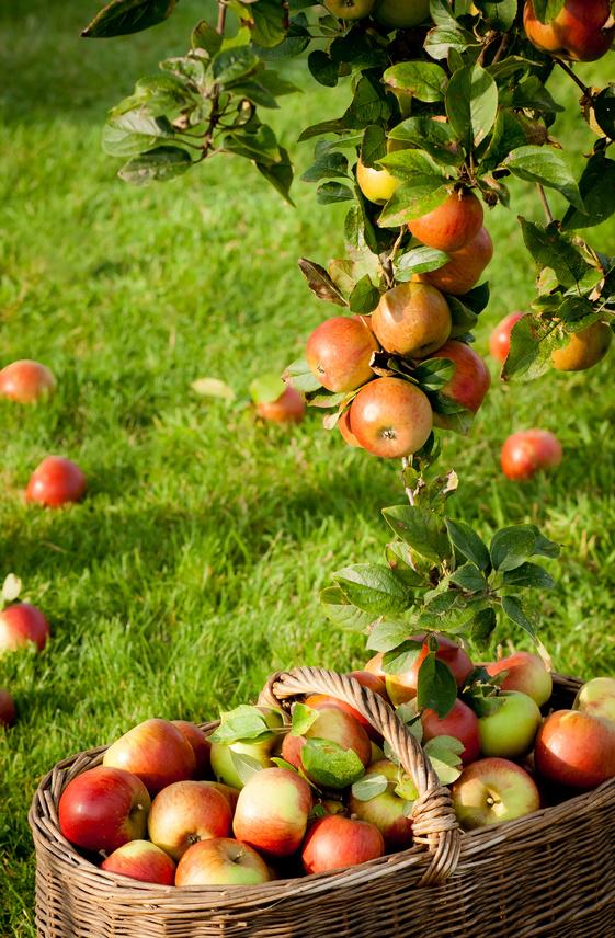 Taille des pommiers - L arbre le pommier ...