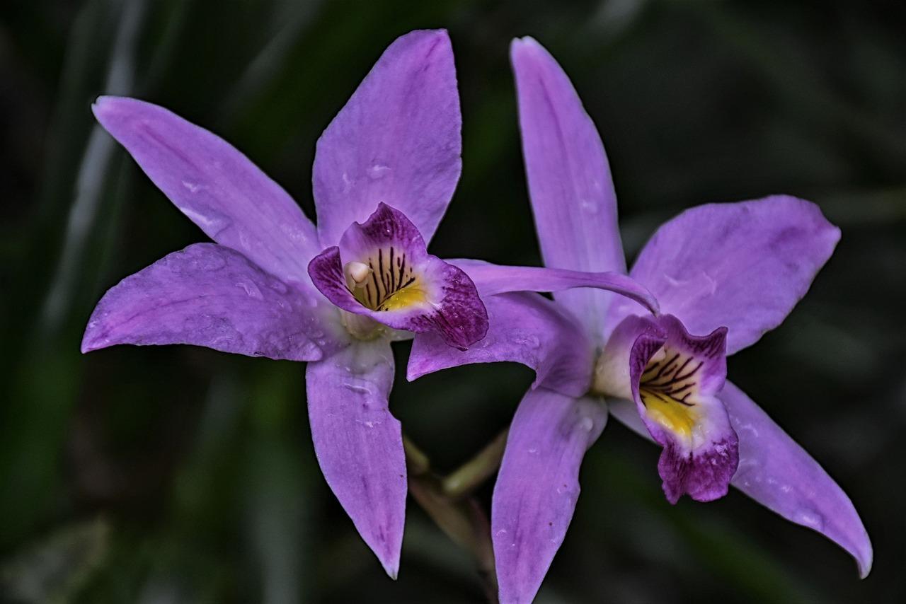 Les belles orchidées