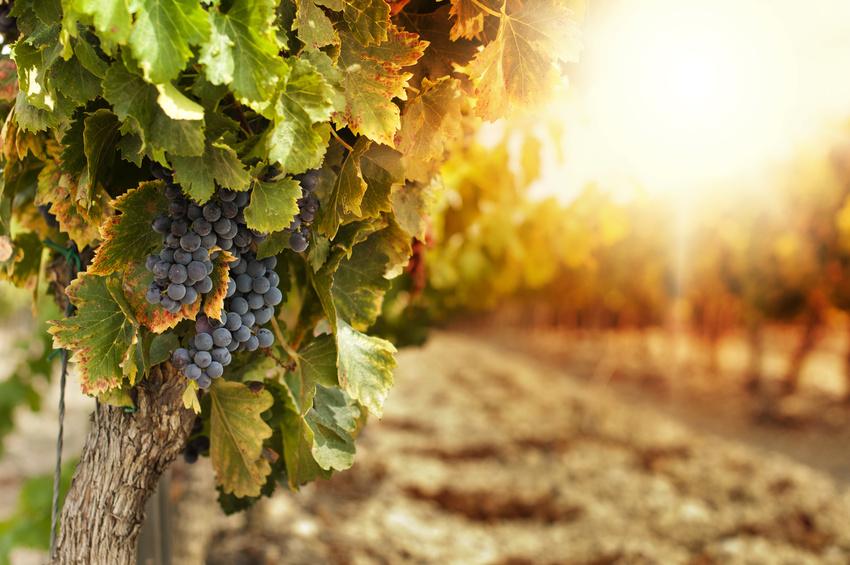 Les vignes ensoleillées