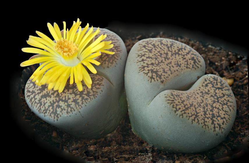 La plante cailloux