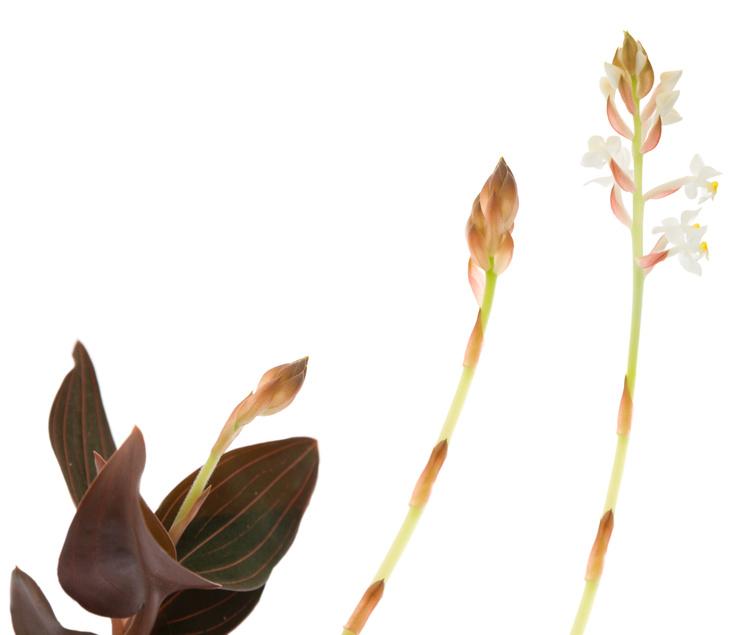 Ludisia, Orchidée bijou
