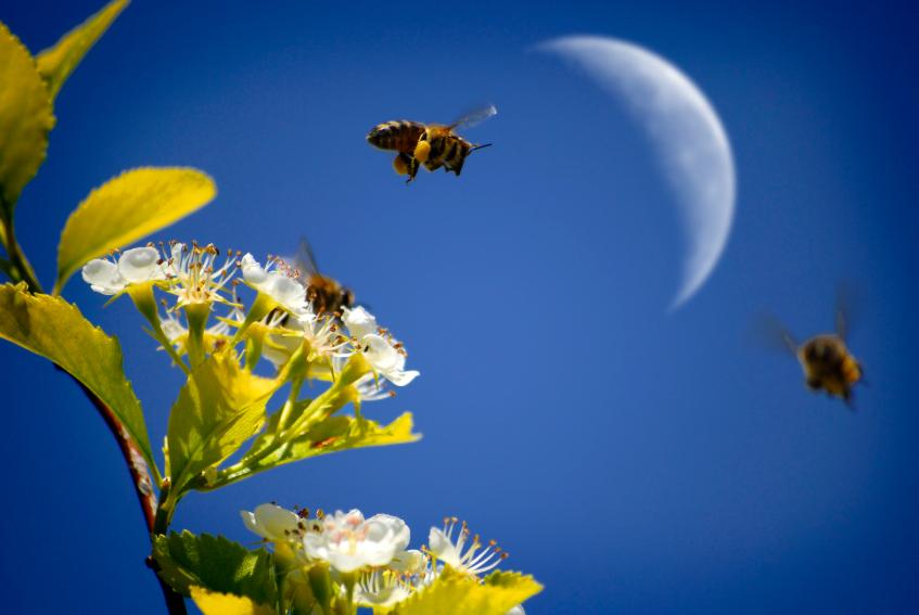 Lune croissante au petit matin dans un cadre fleuri