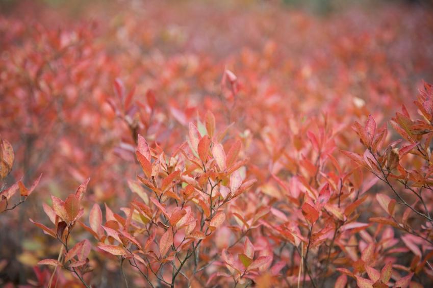 La Myrtille arbustive