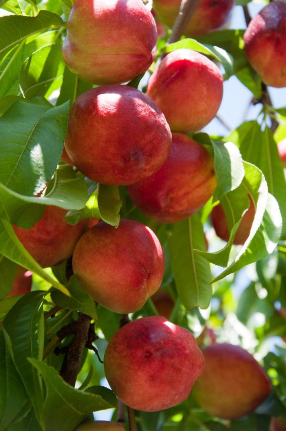 Nectarinier en fructification