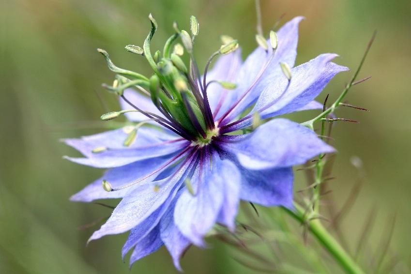 Nigelle de damas nigella damascena for Plante nigelle