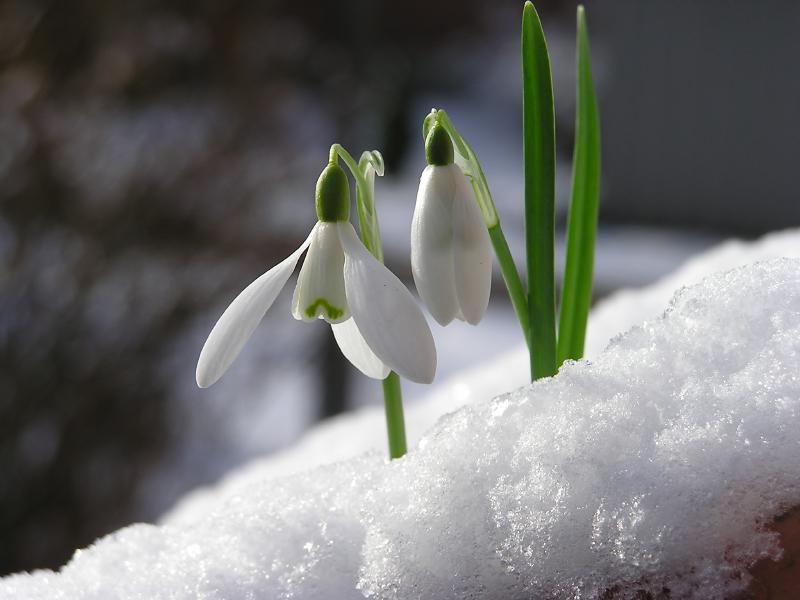 Perce-neige sous un duvet de poudreuse