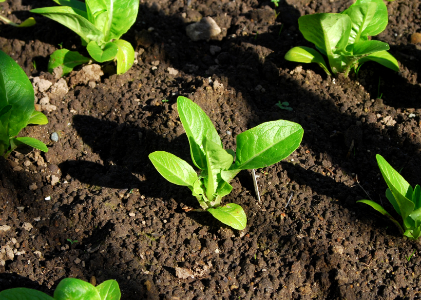 Planter de la laitue for Entretien salade jardin