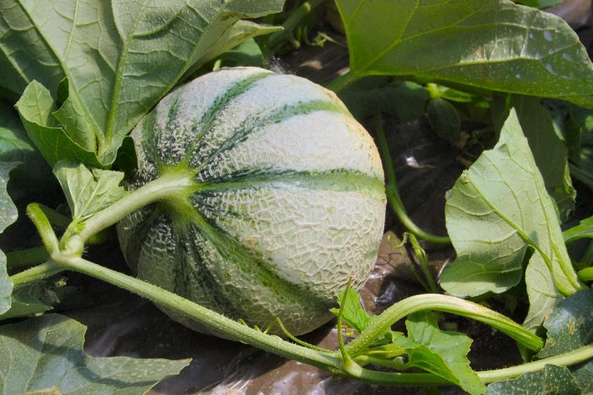 Plant de melon
