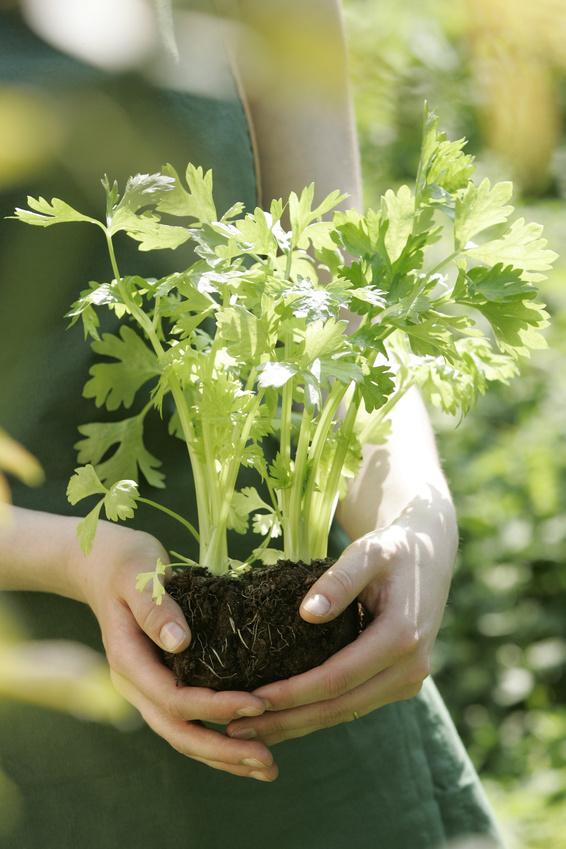 plantation de légumes