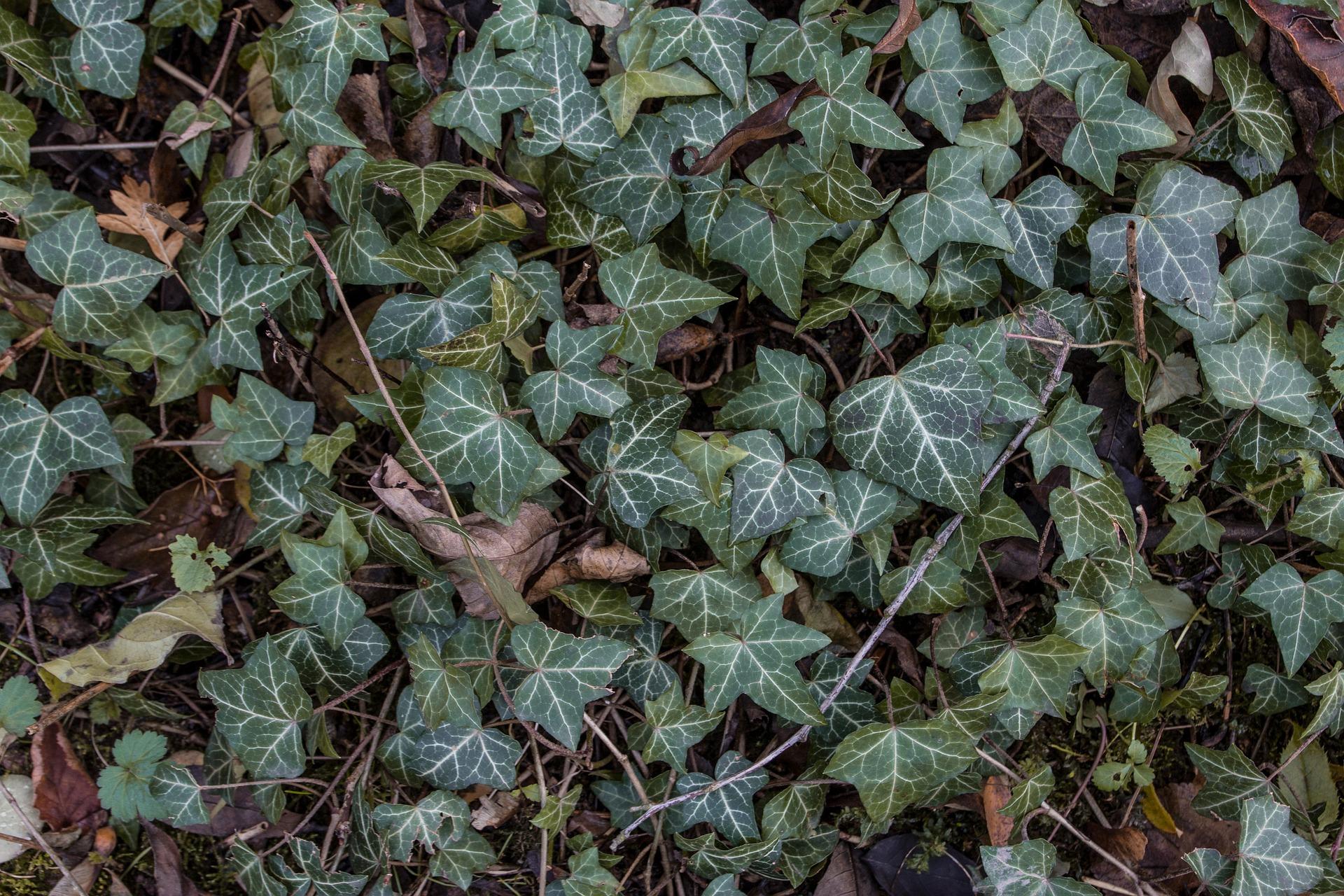 plantes dépolluantes comme le lierre