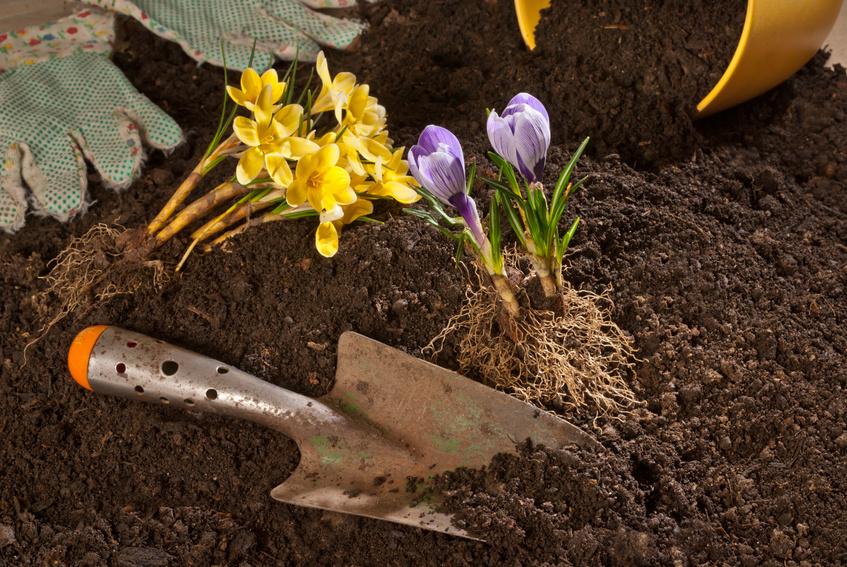 Plantes repiquées sur du terreau