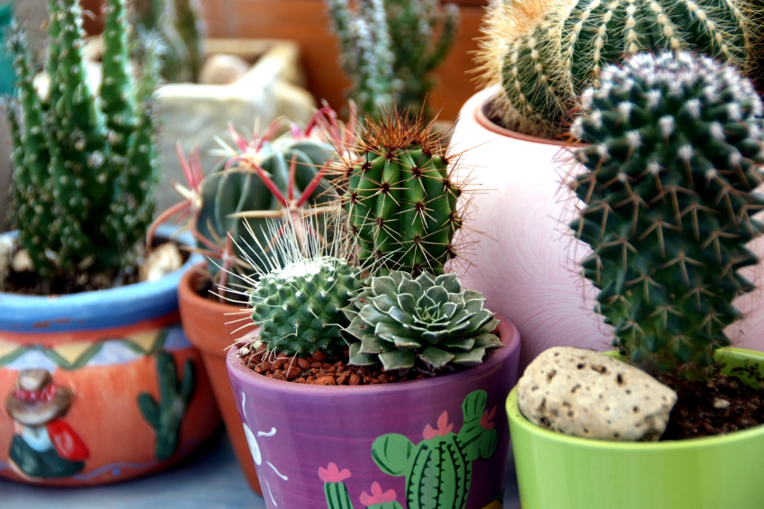 plants de cactus en pot